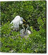 Great Egret With Chicks On The Nest Canvas Print