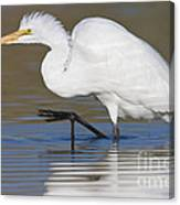 Great Egret With Leg Up Canvas Print