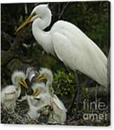 Great Egret With Young Canvas Print
