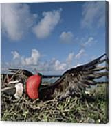 Great Frigatebird Female Eyes Courting Canvas Print