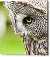 Great Gray Owl Close Up Canvas Print
