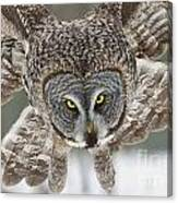 Great Gray Owl Pictures 648 Canvas Print