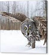 Great Gray Owl Pictures 658 Canvas Print