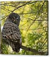 Great Gray Owl Pictures 779 Canvas Print