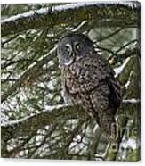 Great Gray Owl Pictures 780 Canvas Print