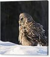 Great Gray Owl Pictures 788 Canvas Print