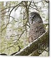 Great Gray Owl Pictures 804 Canvas Print