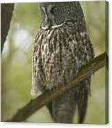Great Gray Owl Pictures 823 Canvas Print