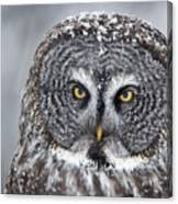 Great Gray Owl Scowl Minnesota Canvas Print