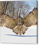 Great Grey Owl Attack Canvas Print