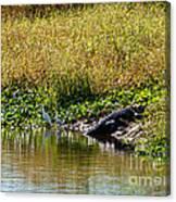 Great Herons Wading Near Alligator Sunning Canvas Print