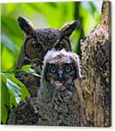 Great Horned Owl Nesting Canvas Print