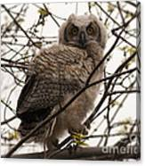 Great Horned Owlet 2 Canvas Print