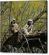 Great Horned Owlets 1 Canvas Print