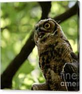 Great Horned Youngster Canvas Print