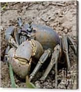 Great Land Crab Canvas Print