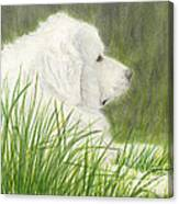 Great Pyrenees Dog In Grass Animal Pets Canine Art Canvas Print