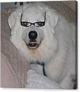 Great Pyrnesse Relaxing With His New Reading Glasses Canvas Print
