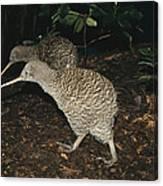 Great Spotted Kiwi Breeding Pair New Canvas Print