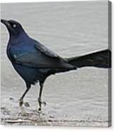 Great-tailed Grackle Wading Canvas Print