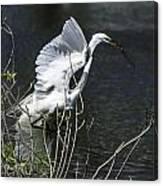 Great White Egret Building A Nest V Canvas Print