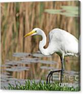 Great White Egret By The River Too Canvas Print
