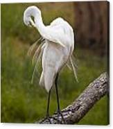 Great White Egret Canvas Print