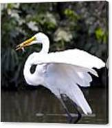 Great White Egret Eating Fish 1 Canvas Print