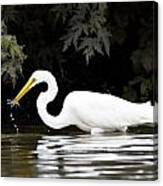 Great White Egret Eating Fish 2 Canvas Print