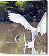 Great White Egret Fishing Sequence 2 Canvas Print