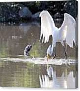 Great White Egret Fishing Sequence 4 Canvas Print