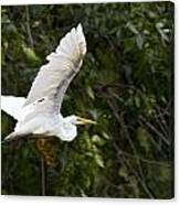 Great White Egret Flying 1 Canvas Print