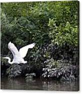Great White Egret Flying 3 Canvas Print
