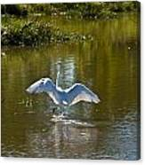 Great White Egret In Sunlight Canvas Print