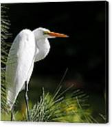 Great White Egret In The Tree Canvas Print