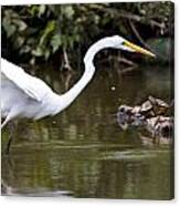 Great White Egret Looking For Fish 1 Canvas Print