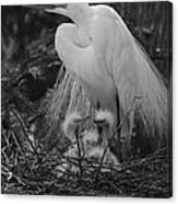Great White Egret Mom And Chicks In Black Ans White Canvas Print