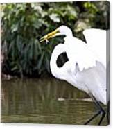 Great White Egret Show Off Canvas Print
