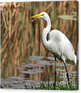 Great White Egret Taking A Stroll Canvas Print