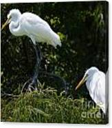 Great White Heron Meeting Canvas Print