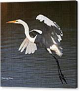 Greater Egret Landing Canvas Print