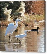 Greater Egret Lesser Egret And Coot Canvas Print