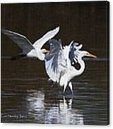 Greater Egrets Meet Up  Canvas Print