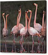 Greater Flamingo Group Courtship Dance Canvas Print