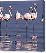 Greater Flamingo Group Canvas Print