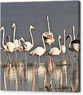 Greater Flamingos At Laguna De La Fuente De Piedra Canvas Print