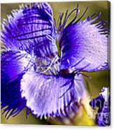 Greater Fringed Gentian Canvas Print