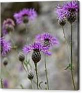 Greater Knapweed Canvas Print