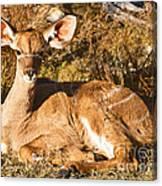 Greater Kudu Calf Canvas Print