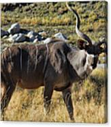 Greater Kudu Grazing Canvas Print